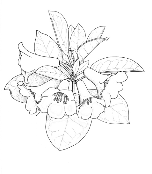 rhododendron-lochiae